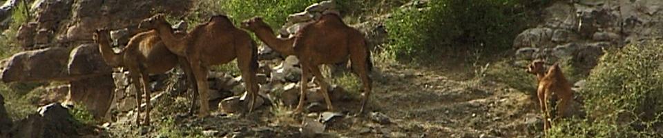 Kamele im Jemen